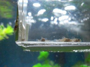 コリドラス稚魚とビーシュリンプ