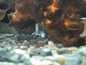流木の下で休むバルーンモーリー