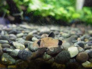 コリドラス・パンダ稚魚