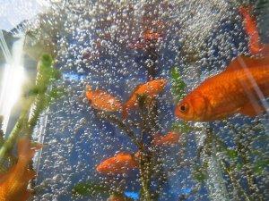 ベランダ水槽の金魚たち