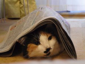 三毛猫ミー