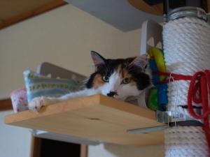 自作キャットタワーで休む三毛猫ミー
