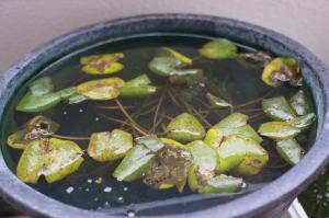 メンテ前の睡蓮鉢