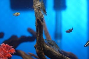 カメ水槽のヤマトヌマエビ
