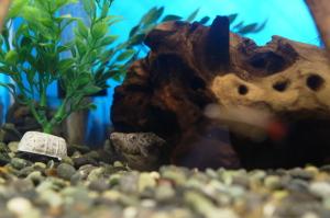カブトニオイガメのモミジ