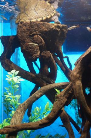 カブトニオイガメのアメとミニブッシープレコ
