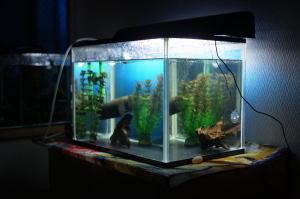 ヤマトヌマエビ繁殖水槽