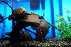 カブトニオイガメ水槽