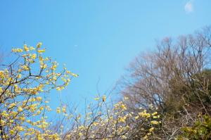 明月院の蝋梅