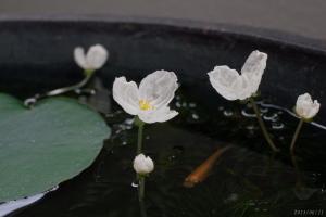 アナカリスの花と緋メダカ