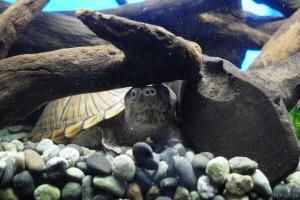 カブトニオイガメのアメ
