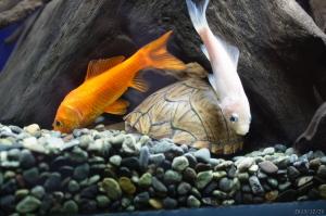 カブトニオイガメのモミジと金魚