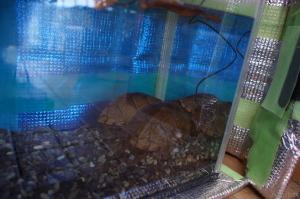 カブトニオイガメ冬眠水槽