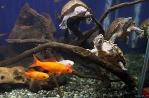 カブトニオイガメと金魚