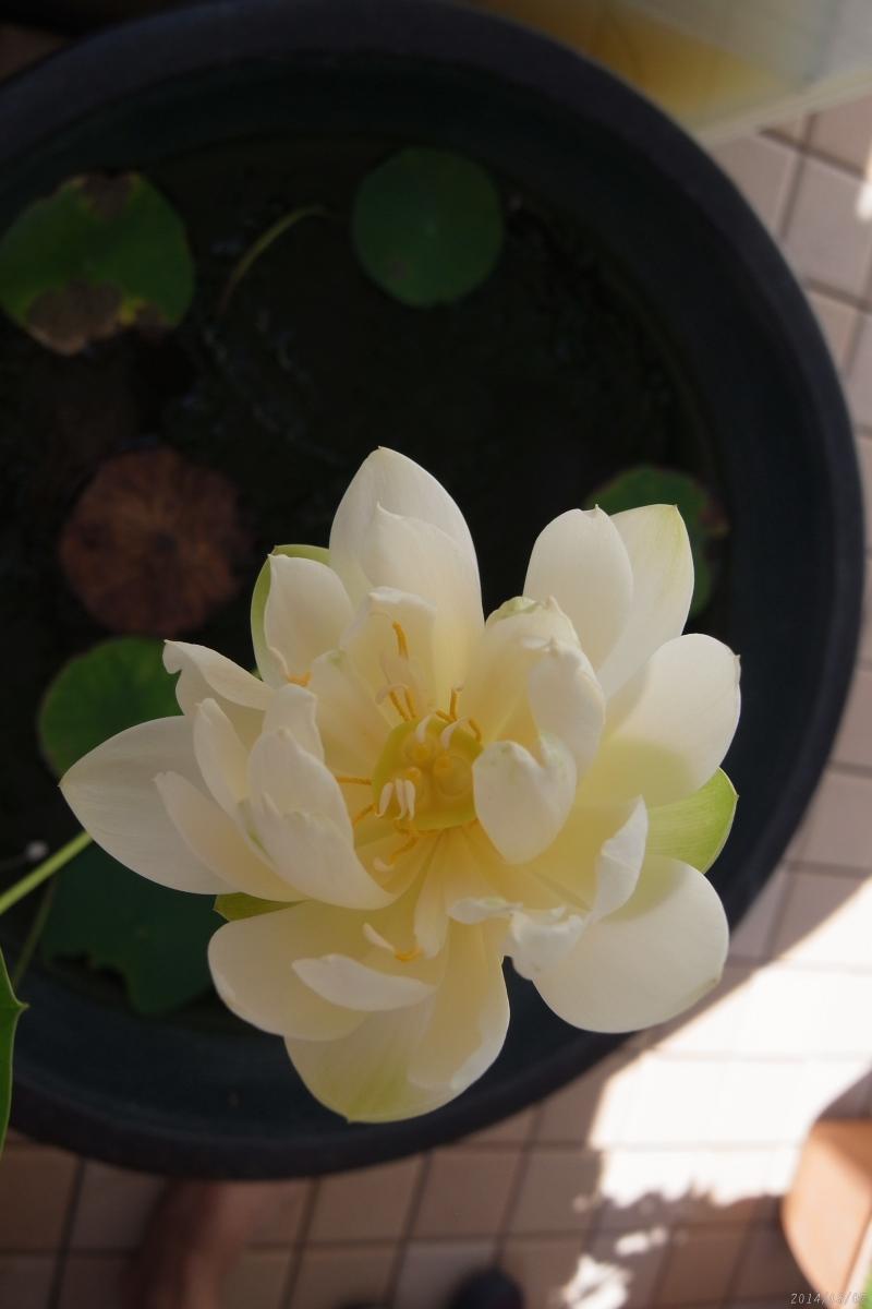 睡蓮鉢のハス